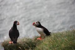 Dois papagaio-do-mar em um penhasco gramíneo, comendo Fotos de Stock