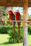 Dois papagaios Imagens de Stock