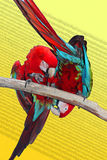 Dois papagaios Fotografia de Stock Royalty Free