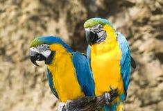 Dois papagaios Fotos de Stock