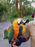 Dois papagaios coloridos Fotografia de Stock