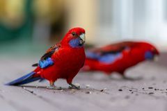 Dois papagaios do rosella que comem a semente com um fundo seletivo do borrão Foto de Stock Royalty Free