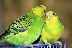 dois papagaios ondulados sentam-se em uma gaiola foto de stock