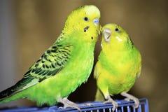 dois papagaios ondulados sentam-se em uma gaiola fotos de stock royalty free