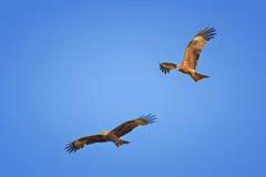 Dois papagaios pretos que voam no céu azul Foto de Stock Royalty Free