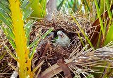 Dois papagaios selvagens verdes que sentam-se no ninho em uma palmeira, Barcelona Imagem de Stock Royalty Free