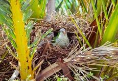 Dois papagaios selvagens verdes que sentam-se no ninho em uma palmeira, Barcelona Foto de Stock