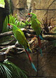 Dois papagaios verdes Imagem de Stock Royalty Free
