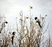 Dois para magpies da alegria Fotos de Stock Royalty Free