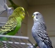 Dois parakeets Foto de Stock Royalty Free