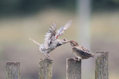 Dois pardais do pássaro em uma cerca de madeira velha Fotografia de Stock Royalty Free
