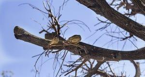 Dois pardais engraçados dos pássaros em um ramo em um jardim ensolarado da mola que bate suas asas fotos de stock royalty free