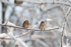 Dois pardais na árvore Imagens de Stock Royalty Free