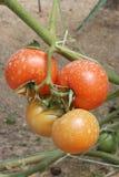 Dois pares de tomates Imagem de Stock
