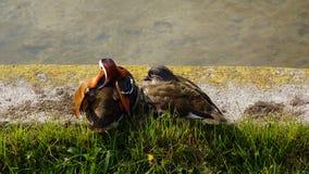 dois pares dos pares dos patos que sentam-se na frente do lago fotografia de stock royalty free