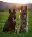Dois pastores alemães Foto de Stock Royalty Free