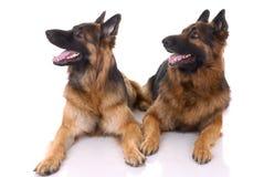 Dois pastores alemães Fotos de Stock Royalty Free