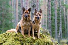 Dois pastores de Alemanha Foto de Stock Royalty Free