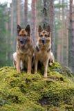 Dois pastores de Alemanha Foto de Stock