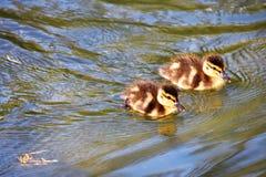 Dois patinhos est?o nadando na lagoa fotografia de stock royalty free