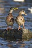 Dois patos Fotografia de Stock