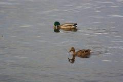 Dois patos bonitos Imagem de Stock Royalty Free