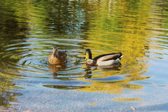 Dois patos do pato selvagem Foto de Stock Royalty Free