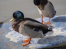 Dois patos em um sol do inverno Imagens de Stock