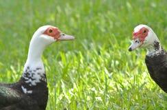 Dois patos encontram-se imagens de stock royalty free