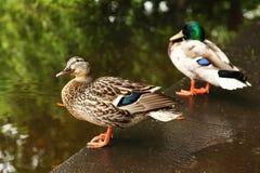Dois patos estão na borda da lagoa. Foto de Stock Royalty Free