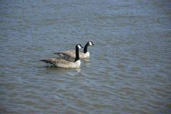 Dois patos na água foto de stock royalty free