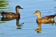 Dois patos na água Fotos de Stock