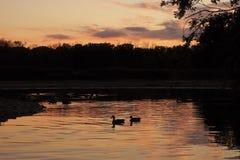 Dois patos na lagoa no por do sol imagem de stock