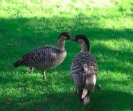 Dois patos na primavera de à terra 2019 fotografia de stock