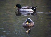 Dois patos nadadores imagens de stock