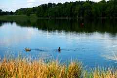Dois patos no lago, floresta no Bakground Fotos de Stock Royalty Free