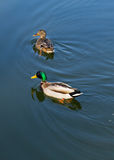 Dois patos no pato pond na água Imagem de Stock