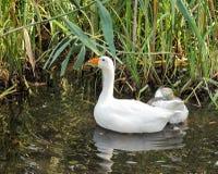 Dois patos que nadam na água do rio com uma reflexão agradável e imagens de stock