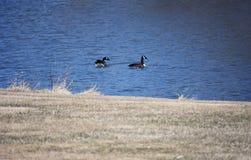 Dois patos que nadam na lagoa Fotos de Stock Royalty Free