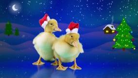 Dois patos recém-nascidos engraçados em chapéus de Santa Claus, abrem o bico que boceja ilustração royalty free