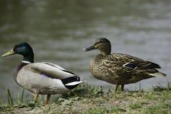 Dois patos selvagens Foto de Stock Royalty Free