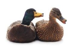 Dois patos selvagens Imagens de Stock
