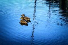 Dois patos selvagens na lagoa ou no lago com fundo da água imagem de stock royalty free