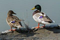 Dois patos, um homem e uma fêmea, olhar em se imagem de stock