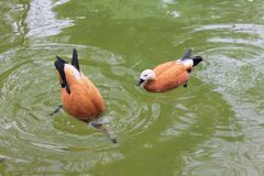 Dois patos vermelhos nadam em uma lagoa com ?gua verde-clara no parque imagem de stock royalty free