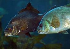 Dois peixes Fotos de Stock