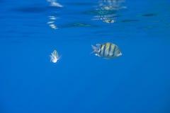 Dois peixes Fotografia de Stock