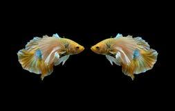 Dois peixes amarelos do betta, peixes de combate, peixes de combate Siamese isolados no fundo preto Fotografia de Stock