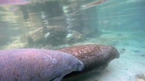 Dois peixes-boi subaquáticos em Crystal River filme