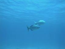 Dois peixes da caranga Fotos de Stock Royalty Free